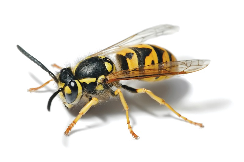 How to naturally remove wasps